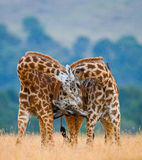 Due giraffe maschii che si combattono nella savana kenya tanzania La Tanzania fotografia stock