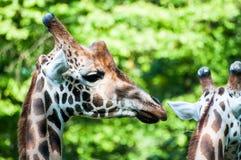 Due giraffe selvagge, al parco zoologico fotografia stock