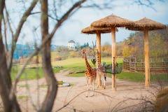 Due giraffe stanno camminando nello zoo Due grandi giraffe ben curato allo zoo stanno aspettando la loro alimentazione Fotografie Stock Libere da Diritti