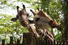 Due giraffe sveglie Immagine Stock Libera da Diritti