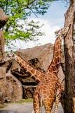 Due giraffe in una recinzione dello zoo Fotografie Stock