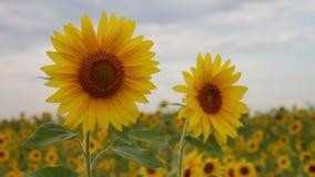 Due girasoli in un campo Bello Sunny Flowers Cielo nuvoloso Fiore giallo Agricoltura del girasole stock footage