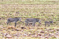 Due giumente bagnate della zebra di montagna con i puledri Immagine Stock