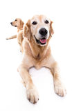 Due golden retriever Immagine Stock