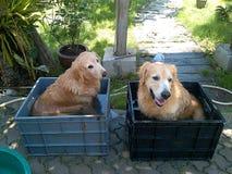 Due golden retriever che prendono un bagno immagini stock