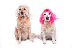 Due golden retriever con le parrucche Fotografia Stock