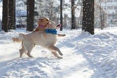 Due golden retriever giovani cani che giocano all'aperto nell'inverno immagine stock libera da diritti