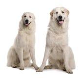 Due grande Pyreness o cani pirenaici della montagna Fotografia Stock