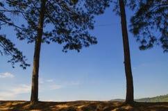 Due grandi alberi, cielo blu come contesto fra i grandi alberi di rimorchio Fotografia Stock