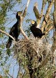 Due grandi cormorani al nido in un vimine fotografie stock libere da diritti