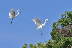 Due grandi egrette (ardea alba) che costruiscono un nido Fotografie Stock Libere da Diritti