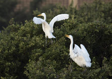 Due grandi egrette in una cima d'albero Fotografia Stock Libera da Diritti