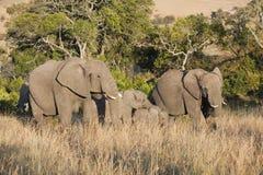 Due grandi elefanti con i calfs Fotografia Stock Libera da Diritti