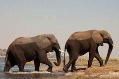 due grandi elefanti maschii   Fotografia Stock Libera da Diritti