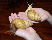 Due grandi lumache di Achatina fotografia stock