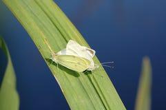 Due grandi pieris brassicae accoppiamento della farfalla di bianco di cavolo Fotografie Stock Libere da Diritti