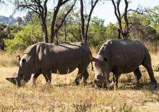 Due grandi rinoceronti che pascono l'erba nello Zimbabwe Fotografie Stock Libere da Diritti