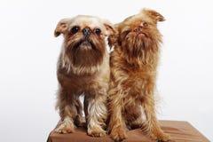 Due Griffons divertente Fotografia Stock