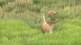 Due gru del sandhill che camminano attraverso il prato erboso stock footage