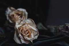 Due hanno asciugato le rose bianche su fondo grigio con il drapin scuro del velluto Fotografie Stock Libere da Diritti