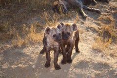 Due hanno macchiato il cucciolo dell'iena con la mummia Immagine Stock