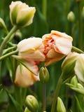 Due hanno piegato il doppio contatto dei tulipani Immagine Stock