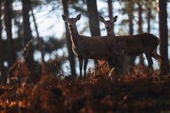 Due hinds dei cervi nobili in felci marroni di una foresta di autunno Fotografia Stock Libera da Diritti
