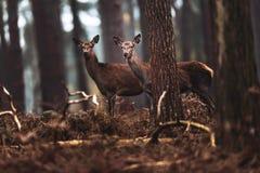 Due hinds dei cervi nobili nell'abetaia di autunno Immagini Stock
