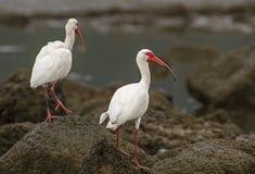 Due ibis bianchi (albus di Eudocimus) Fotografia Stock