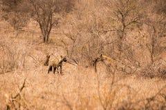 Due iene con la preda in savana, parco di Kruger, Sudafrica Immagini Stock