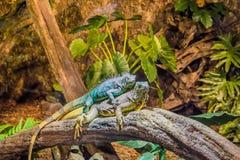 Due iguane divertenti che pongono sopra a vicenda, comportamento animale dominante, animali domestici popolari in herpetoculture fotografie stock libere da diritti