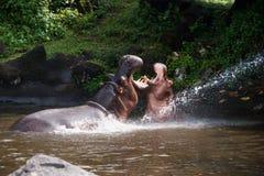 Due ippopotami che combattono gioco con la bocca spalancata nell'acqua Fotografia Stock Libera da Diritti
