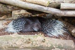 Due istrici che dormono fra i ceppi di legno Immagini Stock