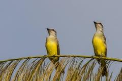 Due Kingbirds tropicali Immagini Stock Libere da Diritti