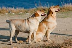 Due Labradors all'aperto Fotografia Stock