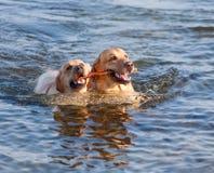 Due Labradors in mare Immagine Stock