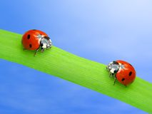 Due ladybugs Fotografia Stock Libera da Diritti