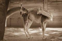 Due lame nell'uccelliera nello zoo Una scena orizzontale della lama due Immagine Stock