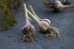 Due lampadine dell'aglio Fotografia Stock