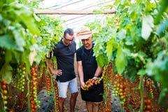 Due lavoratori dell'agricoltore al raccolto del pomodoro ciliegia del controllo della serra Immagine Stock Libera da Diritti