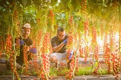Due lavoratori dell'agricoltura degli uomini che cheking e raccolgono il raccolto del pomodoro ciliegia in serra Fotografie Stock
