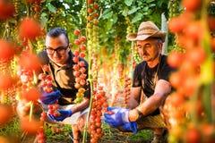 Due lavoratori dell'agricoltura degli uomini che cheking e raccolgono il raccolto del pomodoro ciliegia in serra Fotografia Stock Libera da Diritti