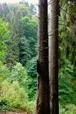 Due legno di pino dei tronchi di albero Immagine Stock Libera da Diritti