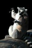 Due lemurs isolati sul nero Fotografia Stock