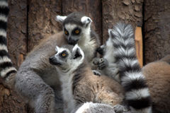 Due Lemurs in una foresta Fotografia Stock