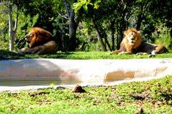 Due leoni maschii nella cattività Immagine Stock Libera da Diritti