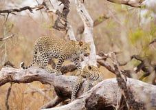 Due leopardi che si levano in piedi sull'albero Fotografia Stock