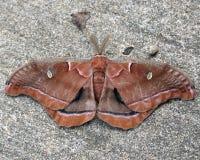 Due lepidotteri Immagini Stock Libere da Diritti