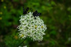 Due lepidotteri neri su un wildflower bianco fotografie stock