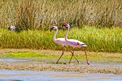 Due Lesser Flamingos che progredisce lungo la sponda del fiume fotografia stock libera da diritti